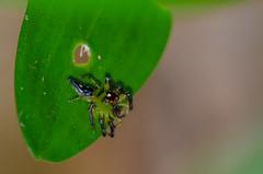 Green jump spider (mcvmjr1971) Tags: 2016 d7000 nikon brasil f28 mmoraes niteri riodejaneiro 150mm macro niteroi sigma