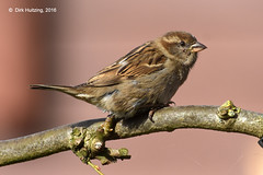 House Sparrow 47702gb