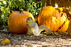 Eating leftovers (BDFri2012) Tags: squirrel pumpkin nature descansogardens fallcolor fallcolors fall california ca eating leftovers