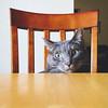 355 | 366 | V (Randomographer) Tags: project366 project 366 cat feline gato kitty cute felis catus kat 猫 貓 kočka kissa katze γάτα חתול बिल्ली macska köttur kucing 고양이 кошка katt แมว con mèo fuzzy nose whiskers fur furry face animal pet friend companion 355 v table tabletop chair day wood cc100