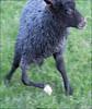 The fivelegged lamb (Kristjan Aunver) Tags: sheep freak lamb mutant monstrosity sheeps lam får söt sötnos lambi ankhljufer gotlandsfår fivelegged fembent femben muterad