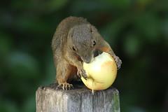 Banded Squirrel (mrm27) Tags: squirrel sungeibuloh bandedsquirrel