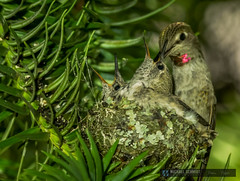 2014-05-30 Vancouver Anna's Hummingbird Nest-20 (Michael Schmidt Photography Vancouver) Tags: family 2 two orange brown white canada black tree green bird yellow closeup vancouver mouth grey bill moss beige babies nest feeding head britishcolumbia spiderweb mother tiny newborn nectar chicks perched iridescent vancouverbc fledgling pictureperfect helpless hatched conifer territorial insectivore sexualdimorphism pinfeathers permanentresident forkedtail hybridization mediumsized annashummingbirdcalypteanna michaelschmidtphotographyvancouverbc wwwmichaelschmidtphotographycom httpwwwflickrcomphotosdmichaelschmidtsets dmschmidtshawca httpswwwfacebookcommsphotographyvancouver httpswwwthisiswhatiseeca michaelmspixca salesmspixca httpsplusgooglecomb115575222591610367933115575222591610367933posts httpstwittercommspixvancouver extendabletongue norfolkislandpinearaucariaheterophylla