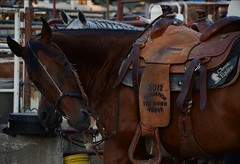 Marshfield Independence Day Rodeo (Adventurer Dustin Holmes) Tags: horses horse animal animals western equestrian farmanimal farmanimals saddle 2014 ipra internationalprofessionalrodeoassociation rawhiderodeocompany marshfieldindependencedayrodeo marshfieldchamberofcommercerodeo 2012championtiedownroper rawhiderodeoco