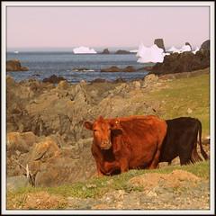 Cows and Icebergs (Tracy Christina) Tags: ocean canada june newfoundland cows iceberg bonavista