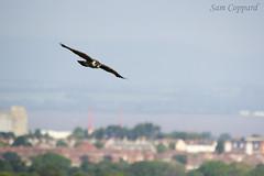 Peregrine Falcon over Avonmouth (Sam Coppard) Tags: nature canon bristol wildlife sigma raptor avon birdofprey peregrine birdinflight peregrinefalcon avongorge falcoperegrinus sigma150500 eos550d rebelt2i