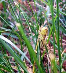Grasshopper (jewelsdelr) Tags: green nature grass bug grasshopper