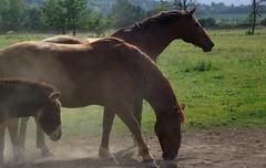 Horses and a donkey in the summer heat, 2013 (andraszambo) Tags: summer horses horse animal hungary outdoor sommer meadow donkey powder heat pferd por halfblood ló pferden lovak rét hőség legelő lovaglás szamár gyulakeszi kisbéri nyárű sportló