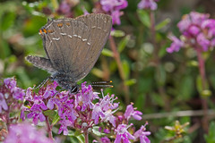 Satyrium ilicis (Sinkha63) Tags: france macro nature animal butterfly wildlife lot lepidoptera papillon fra hairstreak insecta lycaenidae midipyrénées ilexhairstreak theclinae satyrium satyriumilicis thécla cazillac thécladelyeuse annesorbes