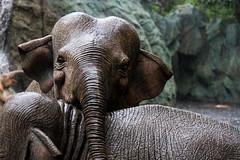 Magic Kingdom - Jungle Cruise Ride - Explored - Thank you (myfrozenlife) Tags: trip travel vacation usa holiday elephant america canon orlando unitedstates florida disney 7d wdw waltdisneyworld magickingdom junglecruise