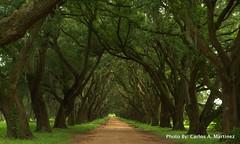 Private Road (carlosmtz) Tags: house oak louisiana live main evergreen plantation