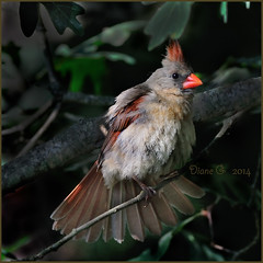 Female Cardinal (Diane G. Zooms---Mostly Off) Tags: nature birds cardinal birding femalecardinal wildbirds redbirds coth dianeg theworldwelivein supershot specanimal alittlebeauty coth5 saaiysqualitypicturesgallery