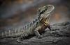 Lizzy (Emanuel Papamanolis) Tags: ngc lizard waterdragon specanimal
