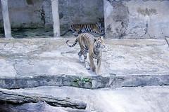 Tigers (Achala Photography) Tags: animal 動物 동물 动物 achala حيوان rajapaksha haiwan животное สัตว์ விலங்கு पशु পশু සත්තු