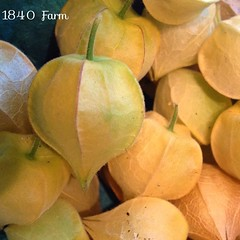 "We are growing heirloom husk cherries in our garden for the first time this year.  These are also referred to as ground cherries because the papery lanterns that protect the underlying fruit drop to the ground when they are ripe.   The fruits are the size • <a style=""font-size:0.8em;"" href=""http://www.flickr.com/photos/54958436@N05/14694841208/"" target=""_blank"">View on Flickr</a>"