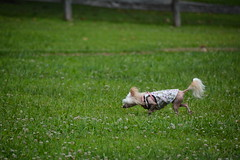 """LuLu In Chase Position • <a style=""""font-size:0.8em;"""" href=""""http://www.flickr.com/photos/96196263@N07/14696264738/"""" target=""""_blank"""">View on Flickr</a>"""