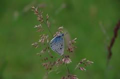 Kreuzenzian Ameisen Bläuling (Aah-Yeah) Tags: blue mountain butterfly bayern schmetterling achental ameisen bläuling alcon chiemgau glaucopsyche maculinea tagfalter kreuzenzian ameisenbläuling rebeli