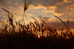 Bluegrass? Nope, orangegrass (music_man800) Tags: uk trip family light sunset sky orange sun holiday color colour beach nature beautiful grass barley silhouette yellow set backlight contrast canon gold golden evening back twilight glow colours afternoon sundown natural bright dusk united norfolk creative shapes illumination gimp kingdom hour late editing backlit lit colourful finest edit cley cleynextthesea 700d