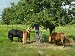 Pruimentijd (AbAberson) Tags: woman tree meadow boom pony jam plums vrouw weiland pruimen