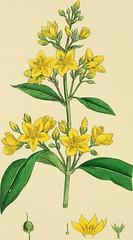 Anglų lietuvių žodynas. Žodis yellow loosestrife reiškia geltona loosestrife lietuviškai.