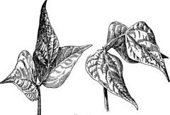 Anglų lietuvių žodynas. Žodis stalklet reiškia aukso aliejus lietuviškai.