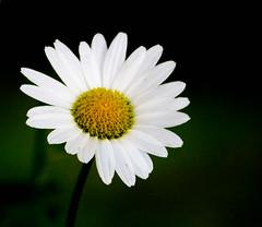 Daisy (Pauline Brock) Tags: flower macro daisy