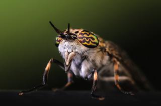 Horsefly portrait
