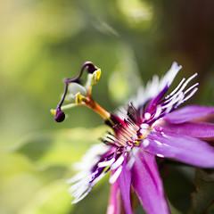 Passiflora ll (-CyRiL-) Tags: macro passiflore cyrilbkl cyrilnovello