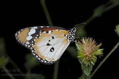 Danaus chrysippus chrysippus IMG_2826 copy (Kurt (OrionHerpAdventure.com)) Tags: tiger lepidoptera plain danaus chrysippus plaintiger lepido lepidopteran danauschrysippuschrysippus