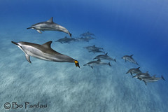 Keep-away (bodiver) Tags: hawaii ambientlight wideangle freediving dolphins fins naia hookena
