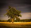 Oak in sinking sun (Harold_Ludman LRPS) Tags: landscapes scenery link oaktree 2014