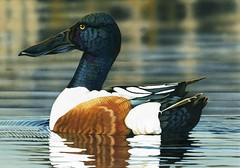 2014 Federal Duck Stamp Art Contest Entry 160 (USFWS Headquarters) Tags: art duck conservation stamp wetlands waterfowl