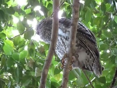 Barking owl (myopixia) Tags: taronga tarongazoo barkingowl ninoxconnivens myopixia