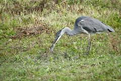 Heron 002 (Steve Birt) Tags: heron canon grey bank gloucestershire 300mm ardea 7d wetlands vole f28 slimbridge wildfowl cinerea