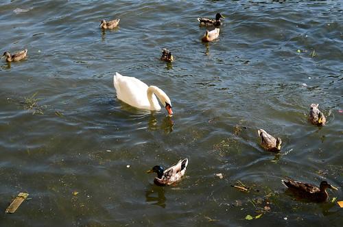 Odd Duckling