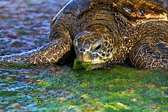 IMG_5107 (aaron_boost) Tags: hawaii oahu turtle northshore aaronboost
