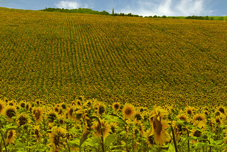 Tarn Sunflower Field (Southwest France)