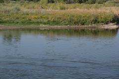 DSC08081 (sylviagreve) Tags: montana unitedstates beaver missouririver threeforks 2013