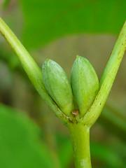 gegenstndig (Jrg Paul Kaspari) Tags: twins acer knospe knospen botanischergarten ahorn hxter acerrufinerve rufinerve gegenstndig schlangenhautahorn rotnerviger