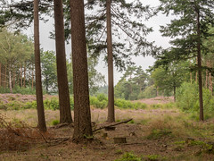 View of heathland from the forest (frank.hoekzema) Tags: trees wild summer sky holland green nature netherlands colors dutch animals pine clouds forest woodland dark outdoors branch quiet gloomy blossom heather wildlife branches peaceful bark heath stump fir bloom environment tall common habitat drenthe heathland pss:opd=1408889306