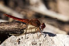 Crocothemis erythraea (Jaume Bobet) Tags: macro canon sigma libelula bobet insecto odonata libellulidae erythraea crocothemis