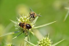 yumyum (ehulshof) Tags: flower weeds bees bee