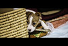 "Hide and Seek (moaan) Tags: dog japan russell dof bokeh kobe jp utata hyogo 2014 3monthsold kinoko terrier"" ""jack thelittledoglaughed canoneos5dmarkiii ef70200mmf28lisiiusm littledoglaughedstories"