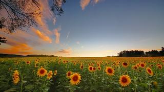 Everybody loves sunflower