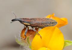 Lixus filiformis (tristanba) Tags: corfu coleoptera curculionidae acharavi