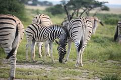 Striped Cutie (zenseas) Tags: africa wild beauty safari zebra namibia striped etosha zebras plainszebra burchellszebra etoshapan etoshanationalpark stripedbeauty equusquagga equusquaggaburchellii fischerpan fisherpan selfdrivesafaria