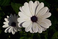 IMG_0201 (Lightcatcher66) Tags: florafauna makros blütenundpflanzen lightcatcher66