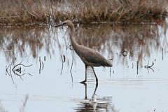 Reddish Egret (Egretta rufescens) (almiyi) Tags: