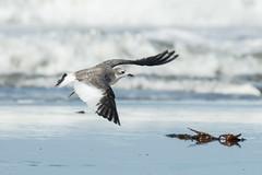 Sabine's Gull Juvenile in Flight (marlin harms) Tags: gull sabinesgull xemasabini juvenilegull