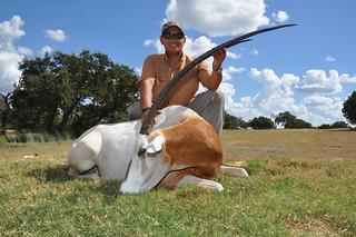 Scimitar Oryx Bull